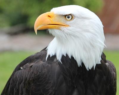 König der Lüfte... Weißkopfseeadler...auf der Adlerwarte