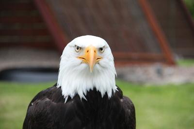 Weißkopfseeadler..König der Lüfte....auf der Adlerwarte