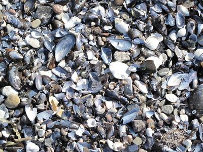 Muschelhälften und Steinchen am Strand 1