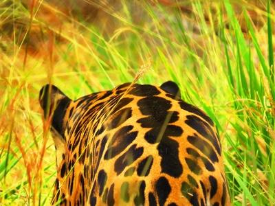 Jaguar im Abzug