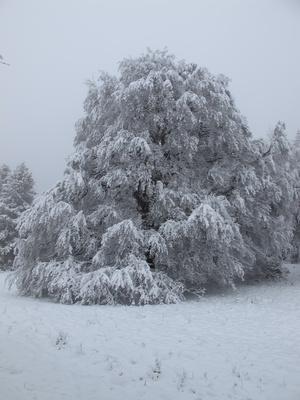 Weidbuche im Winterkleid