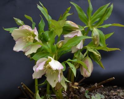 christrose (helleborus niger)