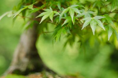Fächerahorn (Acer palmatum) als Bonsai Baum