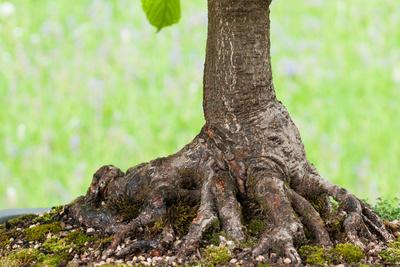 Baumstamm einer Ross-Kastanie als Bonsai Baum