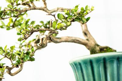 Bonsai Baum in einer Schale