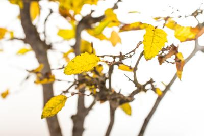 Orientalische Hainbuche mit gelben Laub im Herbst
