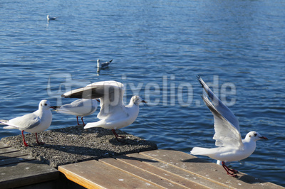 Möwen am Quai-Ufer in Zürich