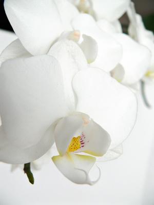 Orchideengewächse