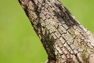 Stamm Weissdorn Bonsai Baum