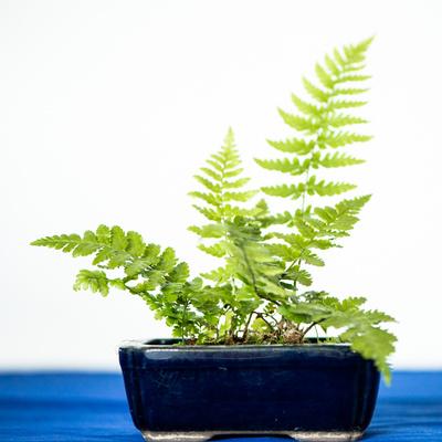 Grünes Farn in einer Schale