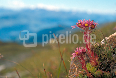 Sempervivum mit Blüte