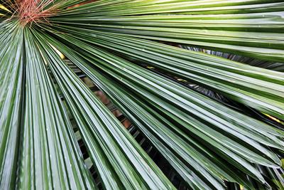 Palmwedel 1