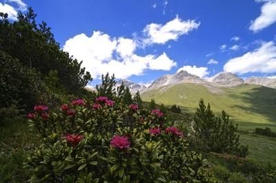 Alpenrosen in der Schweiz