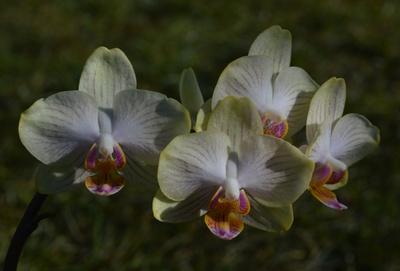 Orchidee vor der Wiese