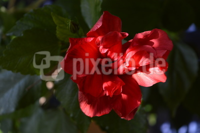 Eine rote Hibiskusblüte