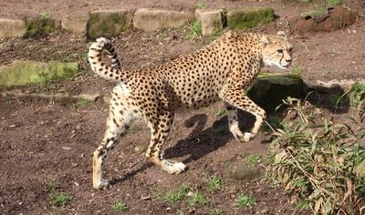 schnellste raubkatze der welt...gepard