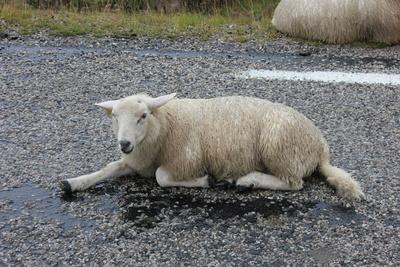 Nasses Schaf auf der Straße liegend