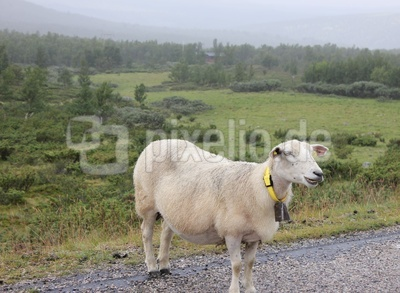 Nasses Schaf am Straßenrand