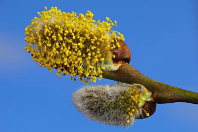 Blütenstand der Sal-Weide