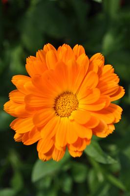 Orangene Blume