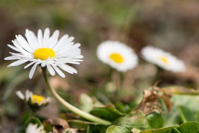 Gänseblümchen im Frühjahr
