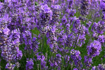 Lavendel in voller Blüte