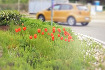 Tulpen im Kreisverkehr