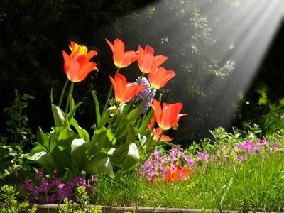 Tulpen im Sonnensrtrahl