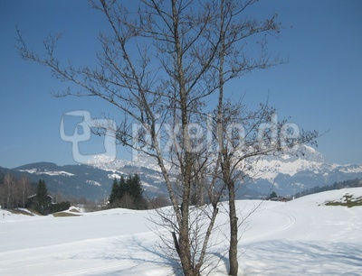 Baum vor dem Wilden Kaiser