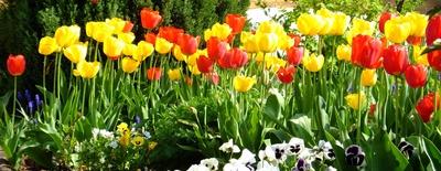 Tulpenblüten, gemischt