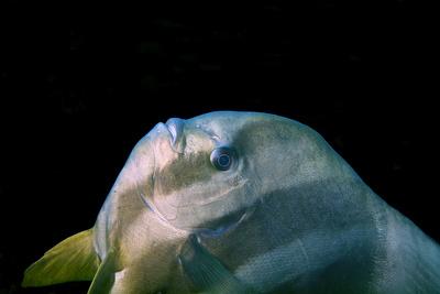 Portrait eines Federmausfisches