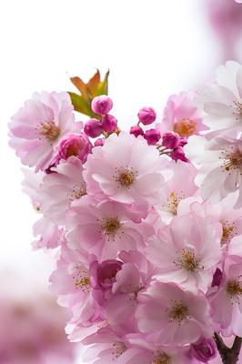 Prall gefüllte Blüten