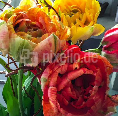 Pracht-Tulpen aquarelliert