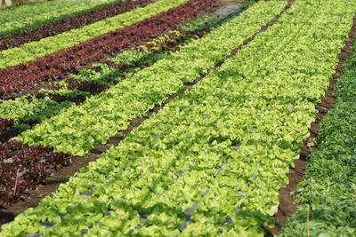 Salat-Köpfe