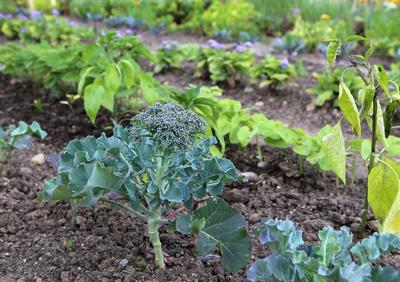 Broccoli im Garten