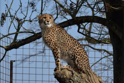 Gepard hält Ausschau