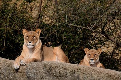 Zwei Löwendamen im Sonnenbad