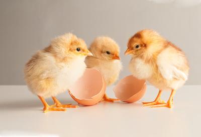 Kükentrio aus dem Ei