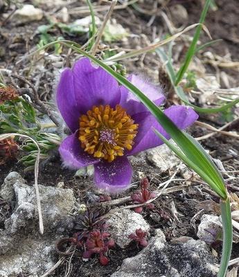 Küchenschellen-Blüte