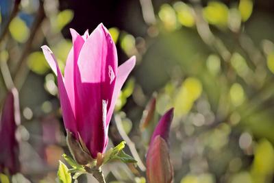 Magnolien im Frühlingstraum