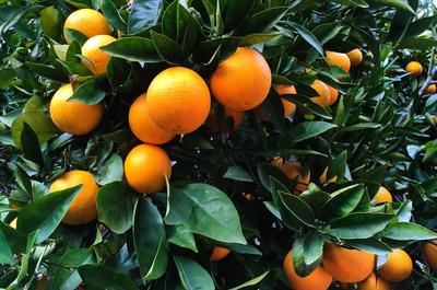 Reife Orangen im Januar