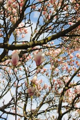 Magnolien erwachen