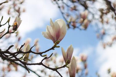Magnolien gen Himmel