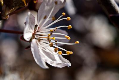 Eine Kirschblüte