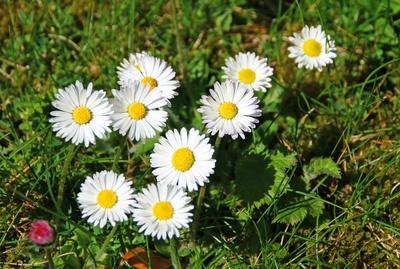 Sonnenblümchen im Sonntagslicht