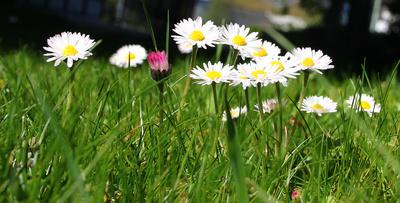 Sonnenblümchen im Sonntagslicht 03