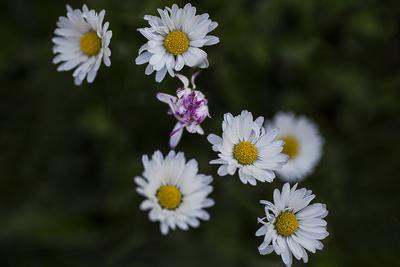 Gänseblümchen I