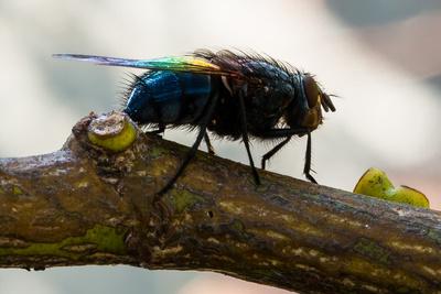 Calliphoridae - die gemeine Schmeißfliege