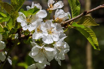 Kirschbaumblüten 2
