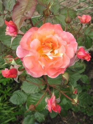 Rose mit fünf Nachkömmlingen